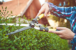 Trimming hedge